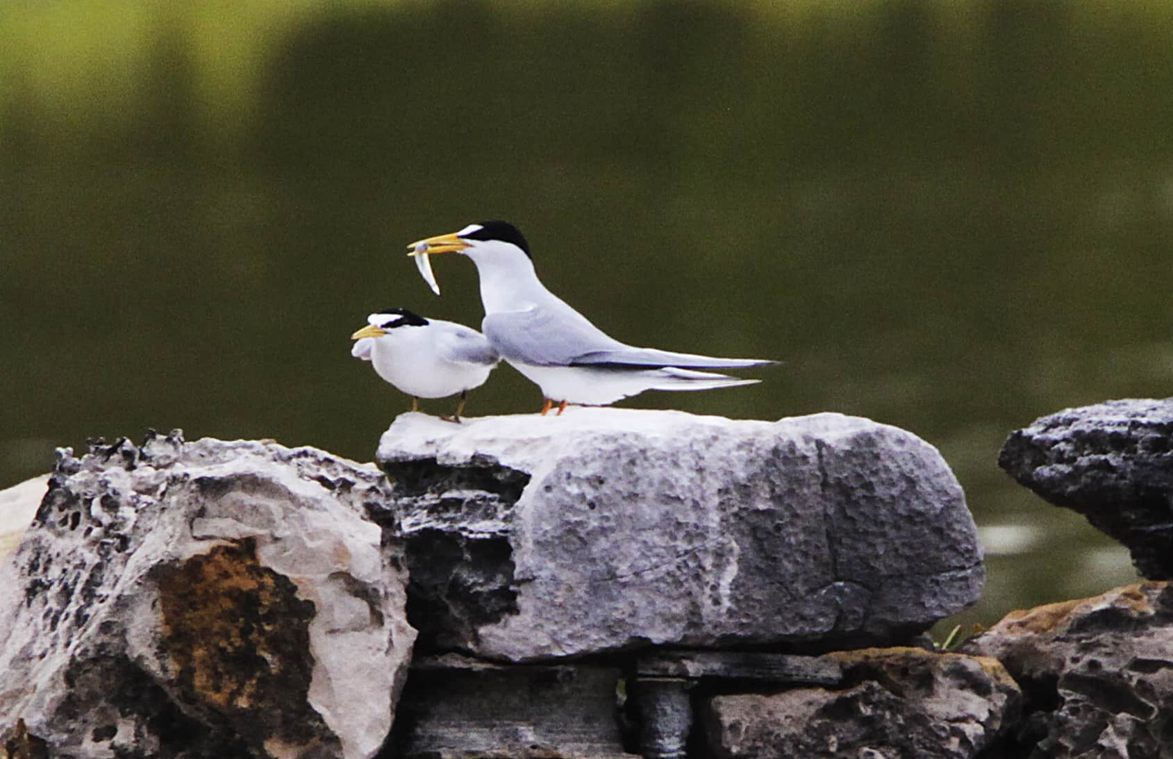 Male least tern brings fish for his mate as part of the display and help to egg production. Copyright: Dr Mike Pienkowski