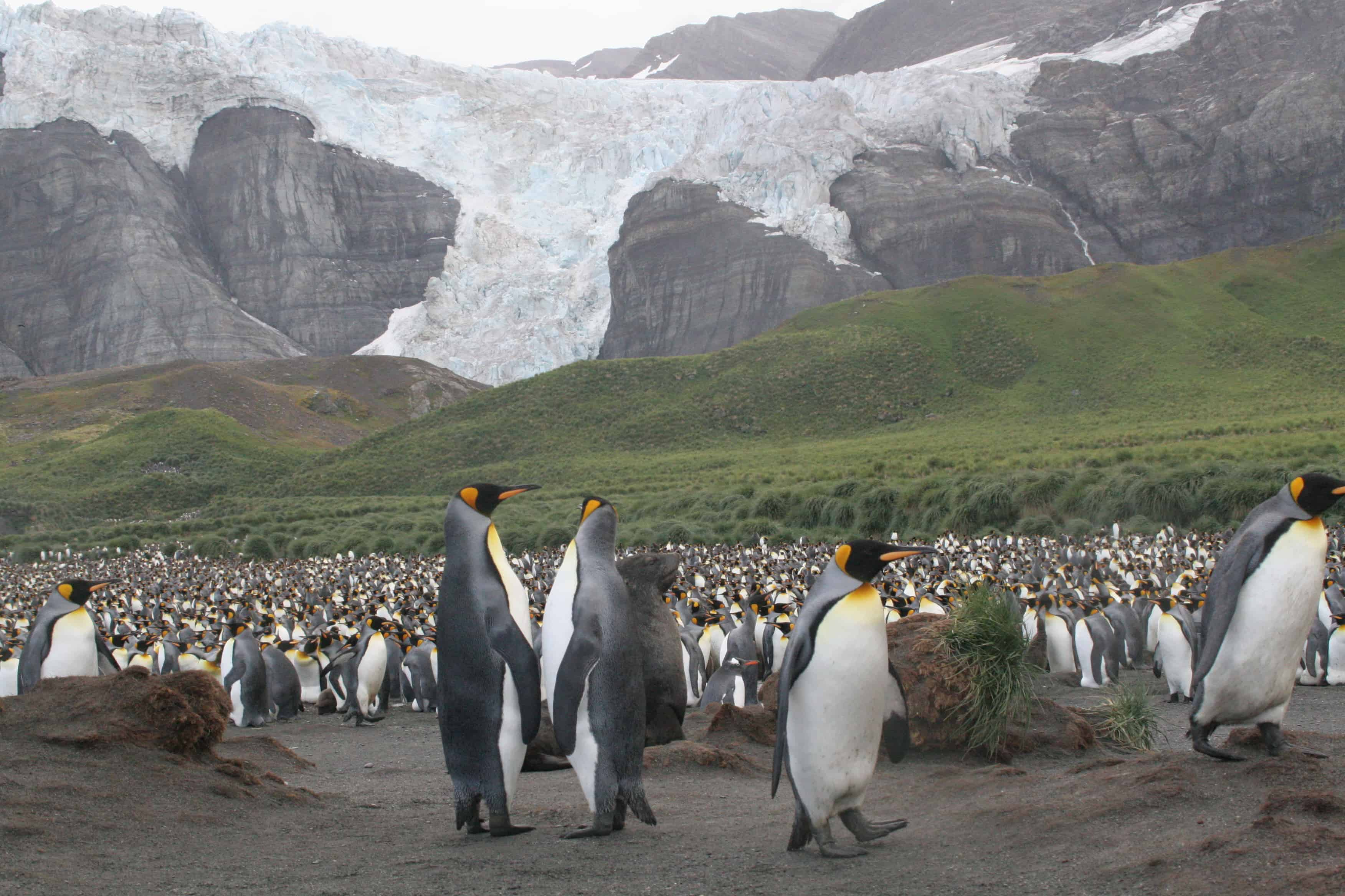 King penguin colony, on NE coast of South Georgia below a glacier. Copyright: Dr Mike Pienkowski