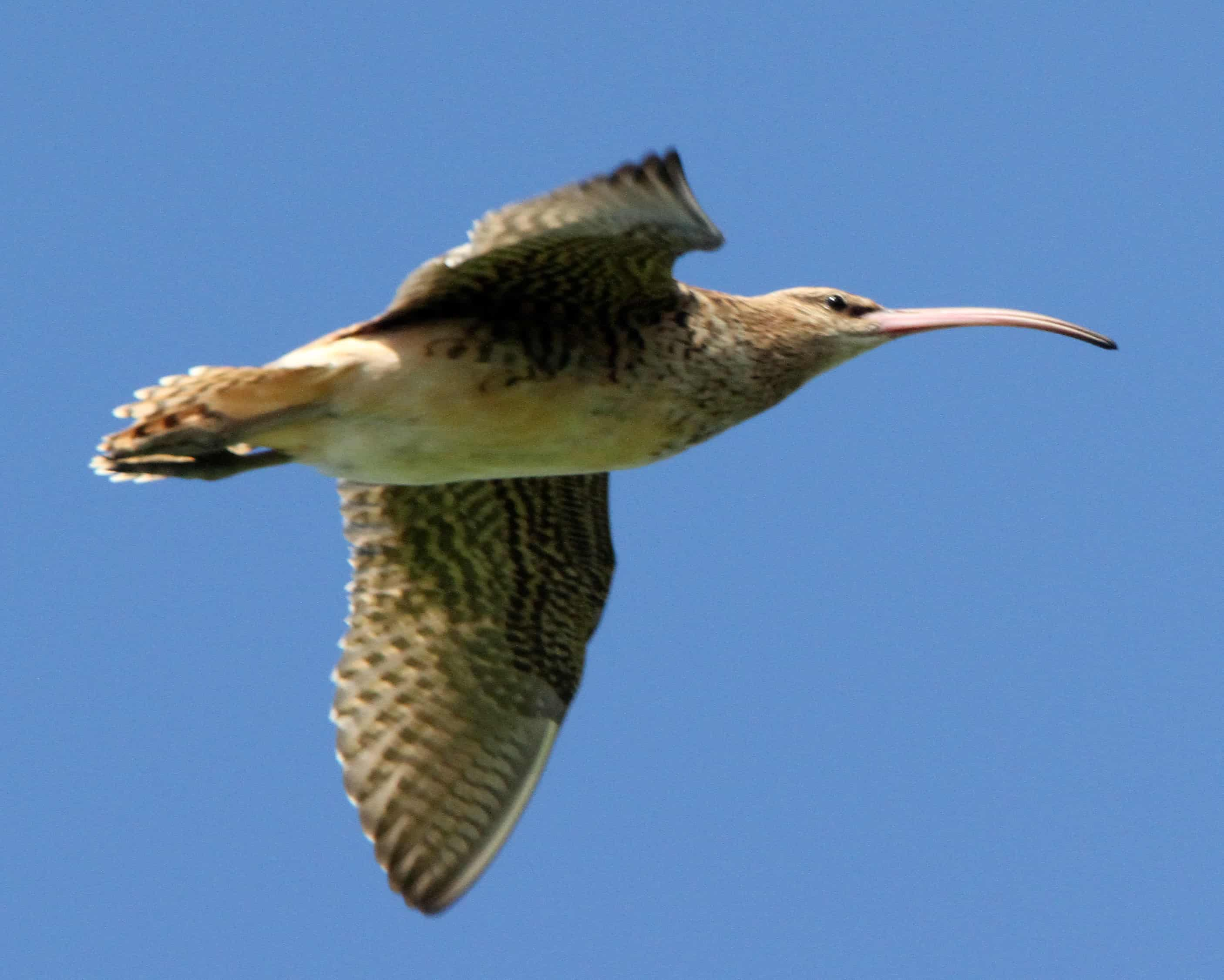 Bristle-thighed curlew Numenius tahitiensis at Henderson. Breeding in Alaska and wintering in the Pacific islands, this species makes some of the world's longest continuous migratory flights; Copyright: Dr Mike Pienkowski