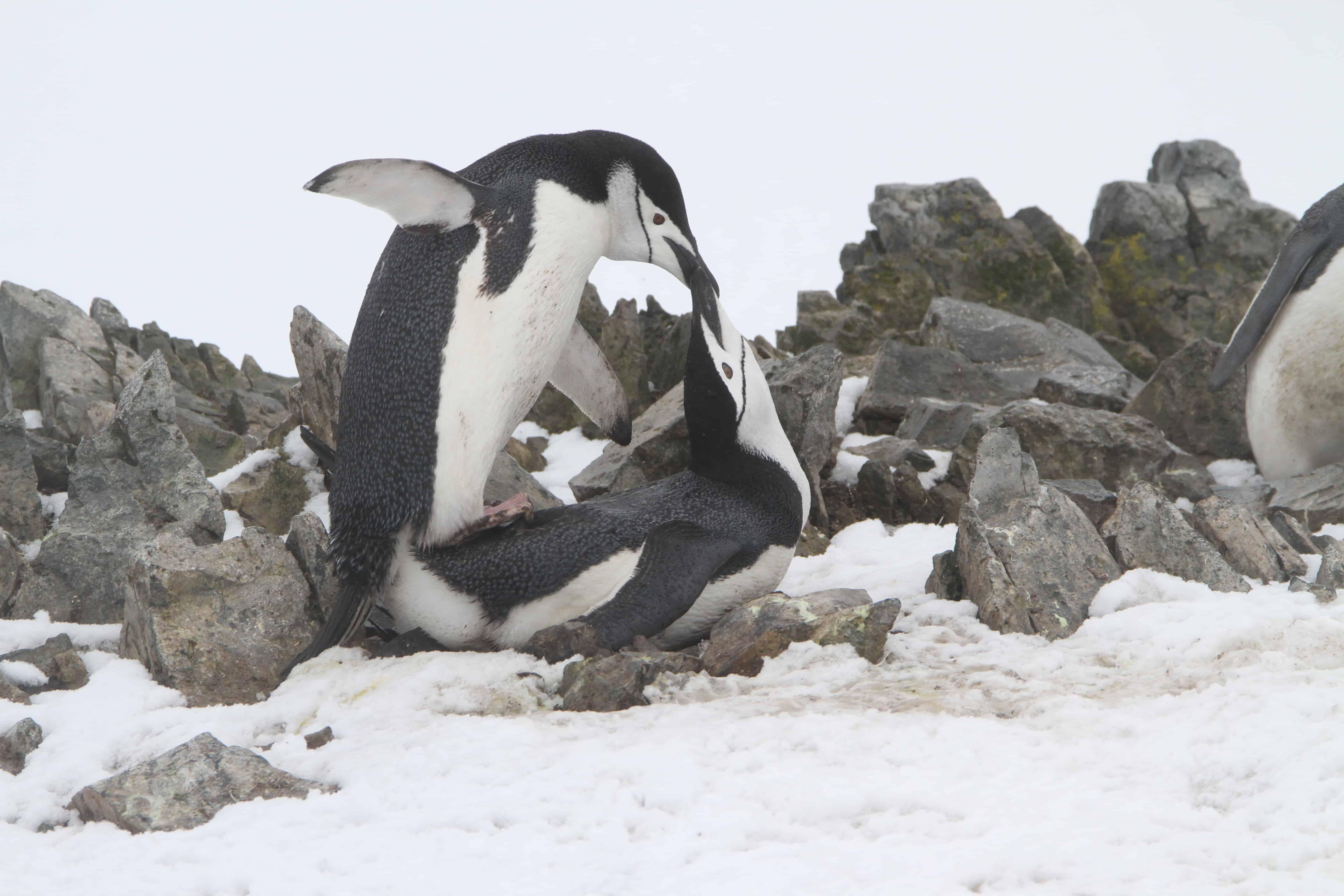 Chinstrap penguin Pygoscelis antarcticus pair at nest site. Copyright: Dr Mike Pienkowski