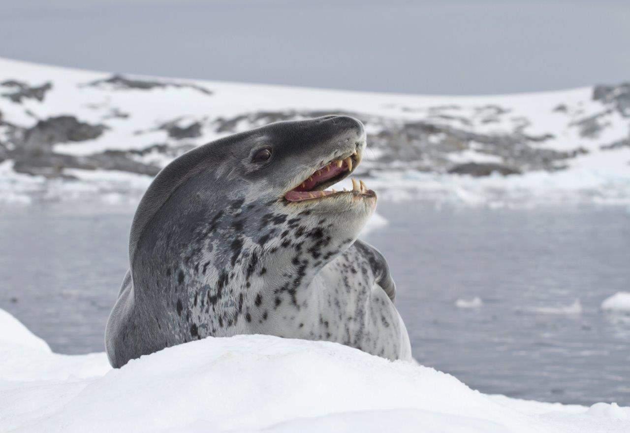 Leopard seal, Antarctica; Copyright: Stewart McPherson www.britainstreasureislands.com