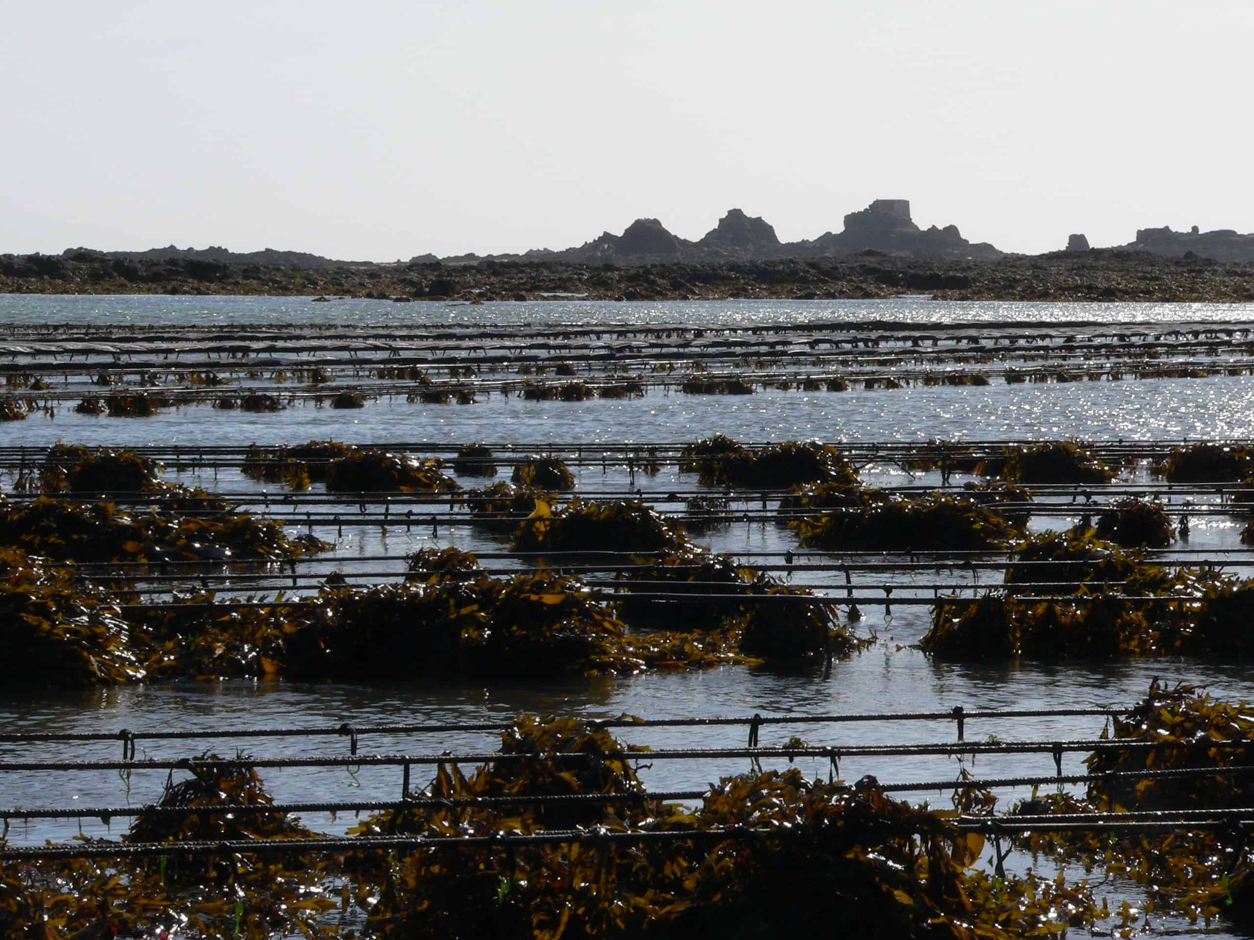 Mussel beds within the South-east Coast of Jersey Wetland of International Importance; Copyright: Dr Mike Pienkowski