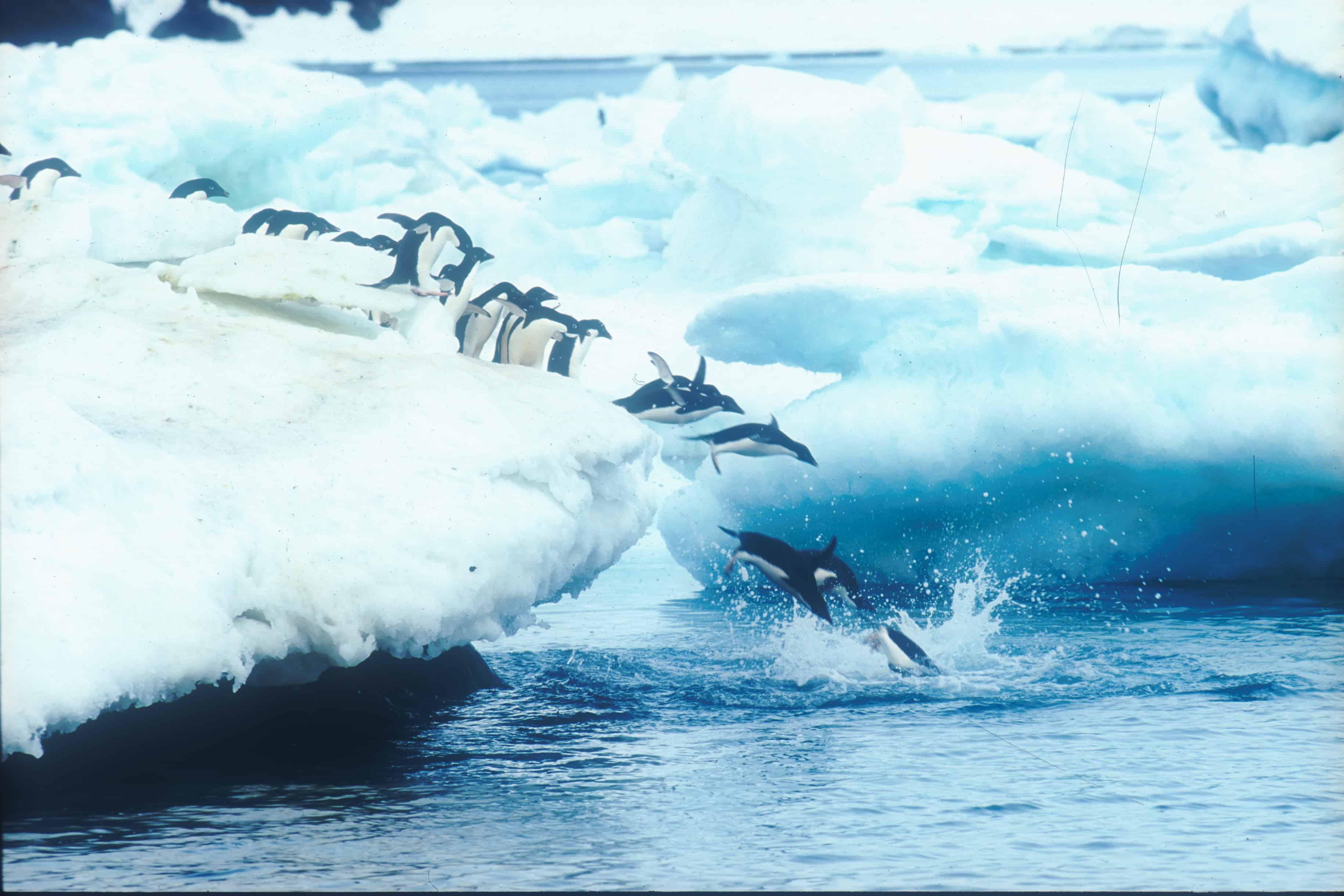 Adélie penguins dive into the sea. Copyright: Michael Gore FRPS