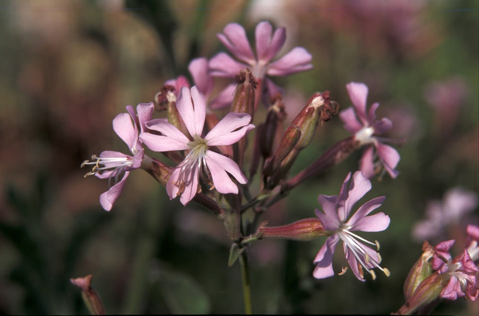 The endemic campion Silene tomentosa; Copyright Leslie Linares