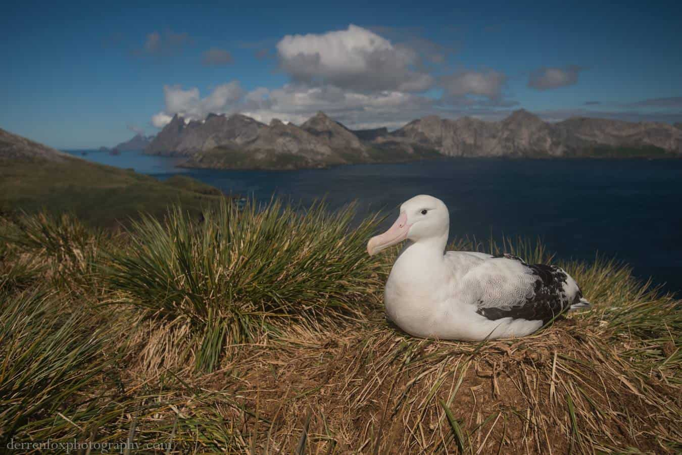An incubating wandering albatross, South Georgia Copyright: Derren Fox