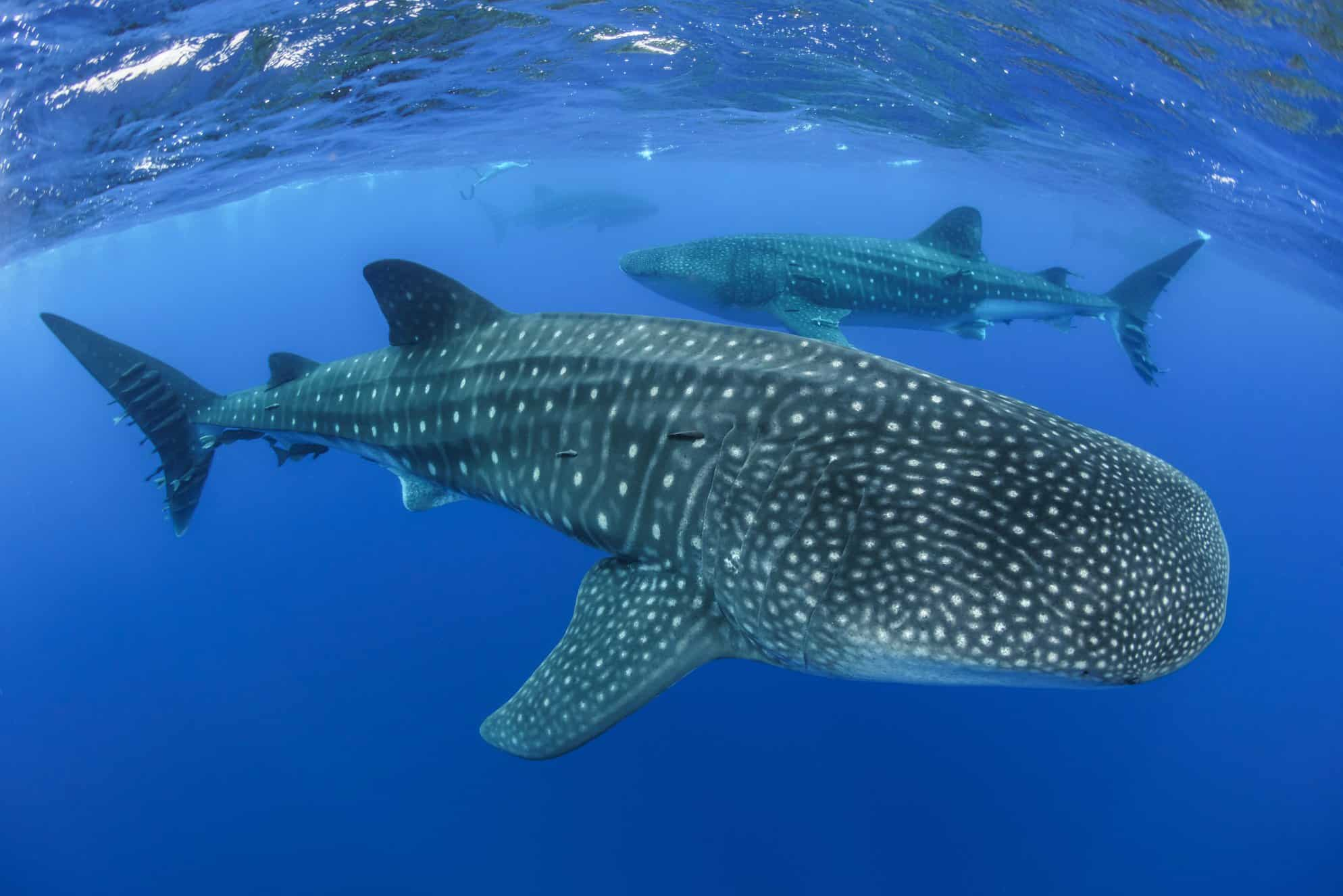 Whale sharks are annual visitors to St Helena. Research and conservation projects to understand more about their migratory routes and protect them are currently underway; Copyright: St Helena National Trust