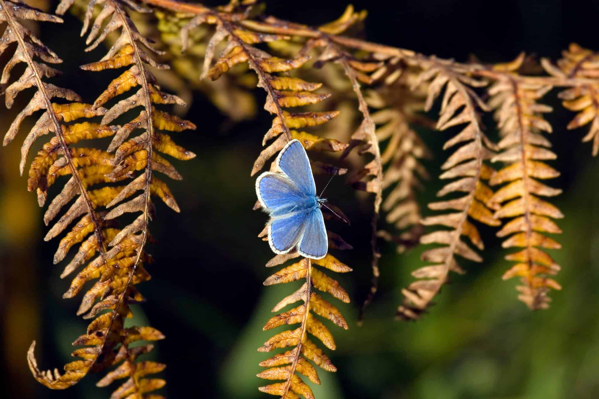 An Alderney common blue butterfly on a bracken leaf; Copyright: Alderney Wildlife Trust