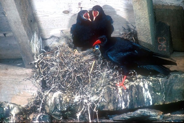 Choughs at nest site with young; Copyright: Dr Eric Bignal