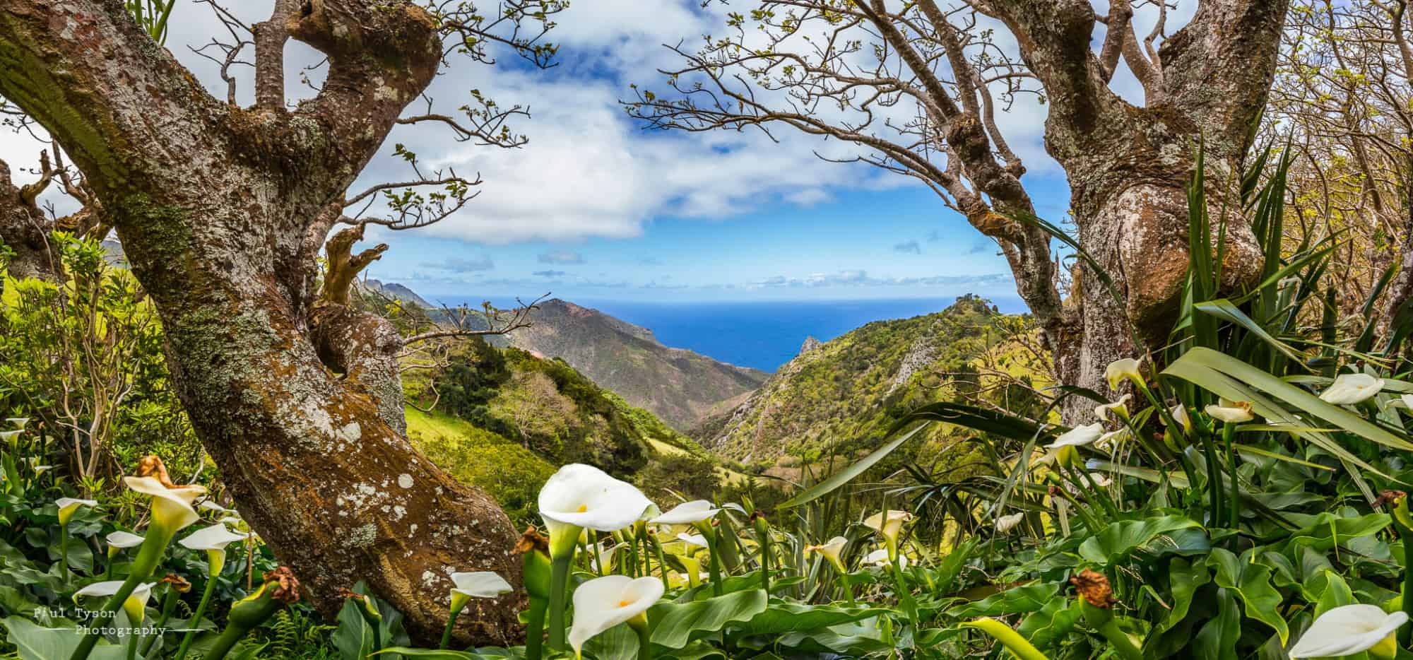 Arum lilies overlooking Sandy Bay, St Helena Copyright: Paul Tyson
