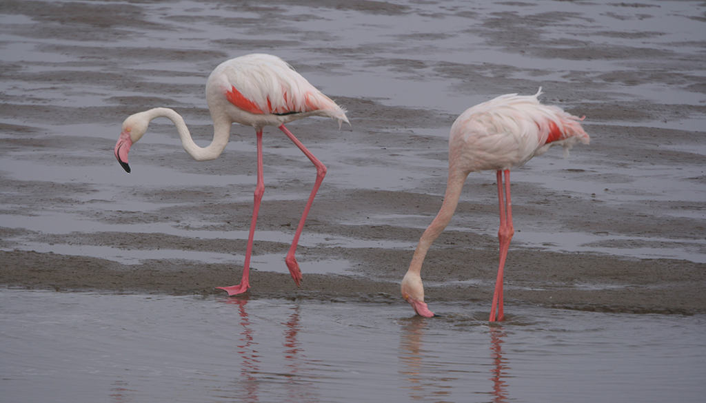 Flamingoes feeding in Cyprus Sovereign Base Areas; Copyright: Michael Gore FRPS