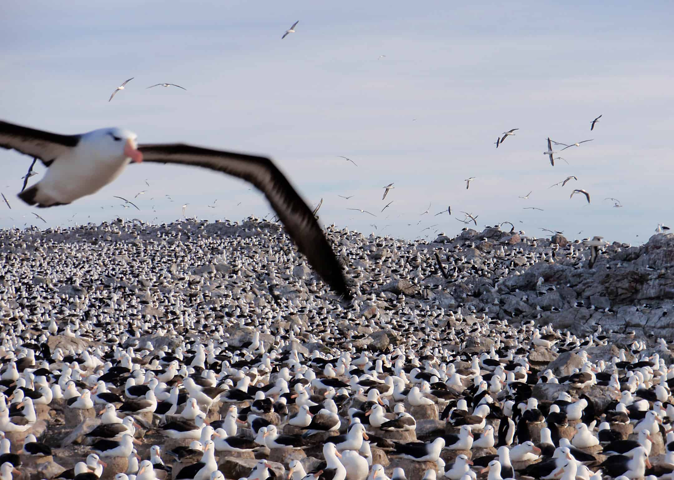 Black Browed Albatross colony on Falkland Islands; Copyright: Tim Earl