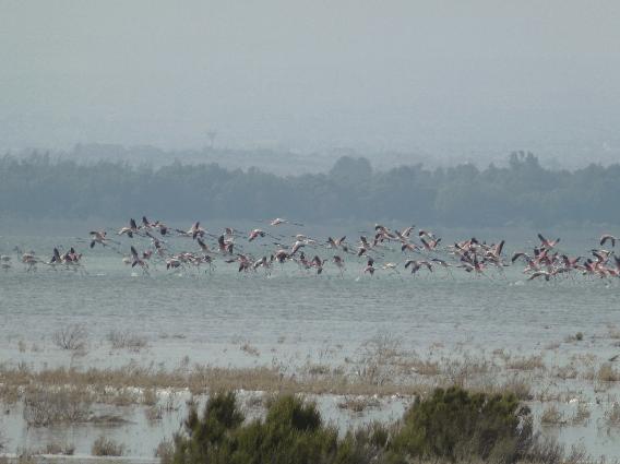Flamingoes at Akrotiri salt marsh- a Ramsar Wetland of International Importance; Copyright: Felix Driver