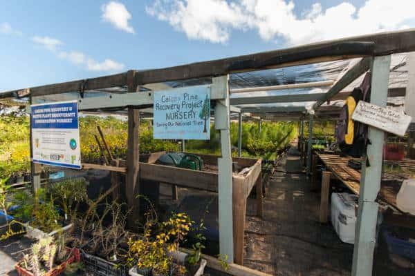Caicos Pine nursery at Government Farm on Middle Caicos; Copyright: visittci.com;